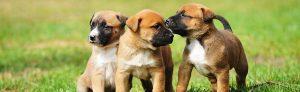 Free dog breeding services
