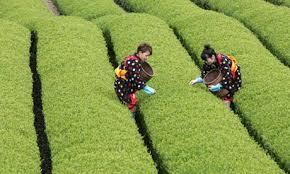 Get Free Green Tea Samples